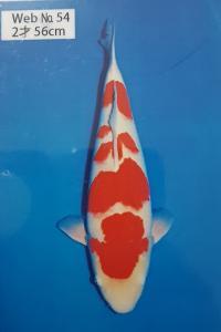 187-Edi - Kohaku 68 cm - Pekan Baru - Import - female - Handling Gading Koi Centre