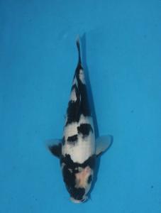 295-drYudi-Palembang-Lelang-Palembang-shiro utsuri - 25 cm